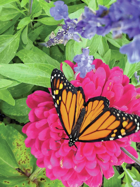 Berkshire Township is the birthplace for Monarch butterflies at its Learning Garden.