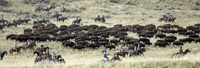 FILE - In this Oct. 27, 2018, file photo, riders on horseback herd bison during an annual roundup, on Antelope Island, Utah. This year, about 700 bison were pushed into corrals during the 32nd year of a roundup that conjures memories of a bygone era of the American West. The animals are rounded up each fall so they can receive health checkups and vaccinations and be affixed with a small external computer chip that stores health information. They are then released back on the island or sold at a public auction to keep the herd at a manageable level of about 500. (AP Photo/Rick Bowmer, File)