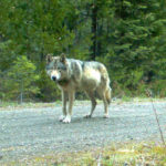 Wolf-hunting controversy