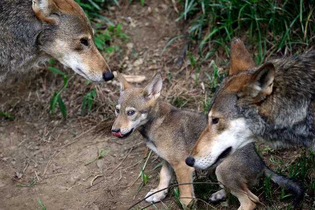 FILE - In this June 13, 2017, file photo, the parents of this 7-week old red wolf pup keep an eye on their offspring at the Museum of Life and Science in Durham, N.C. A pack of wild canines found frolicking near the beaches of the Texas Gulf Coast have led to the discovery that red wolves, or at least an animal closely aligned with them, are enduring in secluded parts of the Southeast nearly 40 years after the animal was thought to have become extinct in the wild. (AP Photo/Gerry Broome, File)