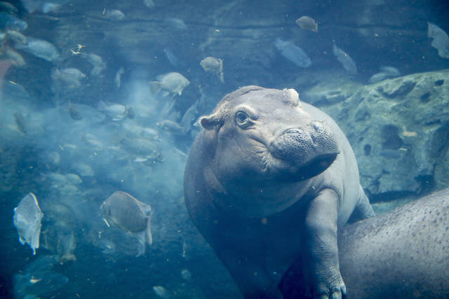 In this Tuesday, June 26, 2018 photo, Fiona, a baby Nile Hippopotamus swims in her enclosure at the Cincinnati Zoo & Botanical Garden, in Cincinnati. Now a half ton of fun, the Cincinnati Zoo's famed premature hippo will turn soon turn 2 years old. The zoo says a variety of activities will celebrate Fiona's latest milestone. The hippo was born Jan. 24, 2017, at a dangerously low 29 pounds (13 kilograms). (AP Photo/John Minchillo)