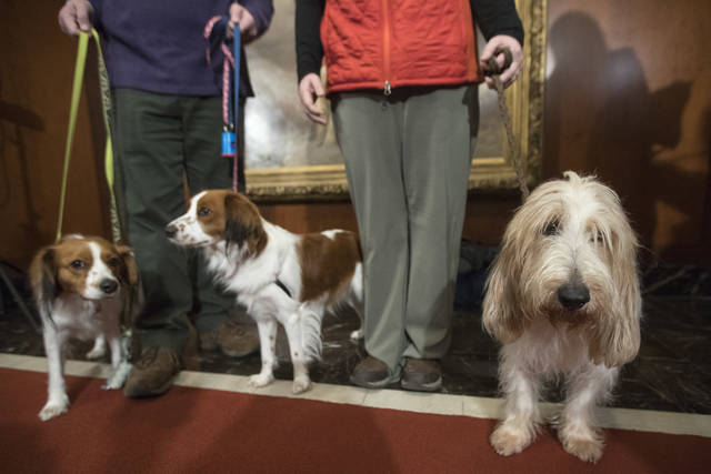 FILE - In this Jan. 10, 2018 file photo, Escher, left, and Rhett, center, Nederlandse kooikerhondje, and Juno, right, a grand basset griffon Vendeen, are shown by their handlers during a news conference at the American Kennel Club headquarters in New York. The two breeds are eligible to compete in the Westminster Kennel Club dog show for the first time in 2019. (AP Photo/Mary Altaffer, File)