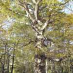 Beech trees are dying