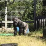 Gorilla to go back to Cincy