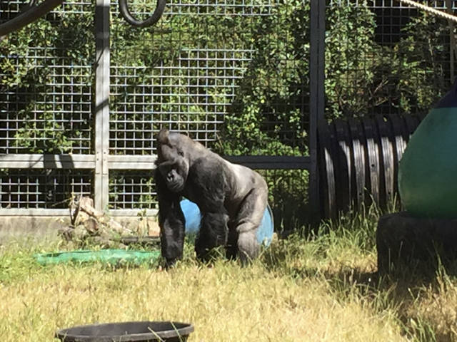 FILE - In this 2016 photo provided by the Cincinnati Zoo and Botanical Garden,  Ndume stands in The Gorilla Foundation's preserve in California's Santa Cruz mountains.  A federal judge in San Francisco has ruled the male silverback gorilla loaned to a California group in 1991 as a possible mate for Koko, the gorilla who learned sign language, must be returned to a Cincinnati zoo. District Judge Richard Seeborg's ruling Friday, Feb. 1, 2019,  says a 2015 agreement between the Cincinnati Zoo & Botanical Garden and Gorilla Foundation to return Ndume after Koko's death must be enforced. Koko died in June at age 46.  (Ron Evans/Cincinnati Zoo and Botanical Garden via AP)