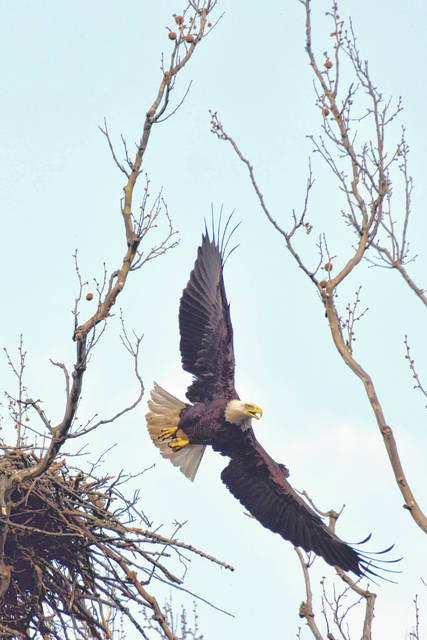 Eagle flying from the nest at Highbanks on April 29, 2015.