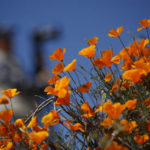 California town benefits from bloom