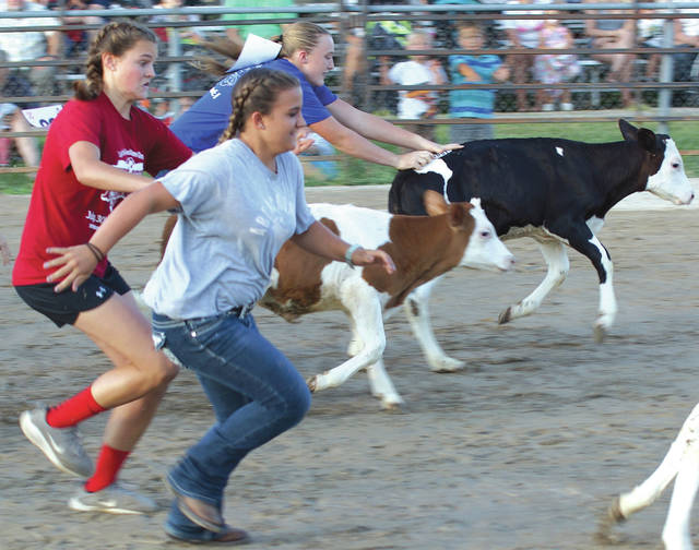 The calfs make a run for it as 20-25 kids give chase for the coveted tag that is affixed to the cows' backs, during Sunday's July 30 Kiddie Calf Scramble at the Greene County Fair in Xenia.