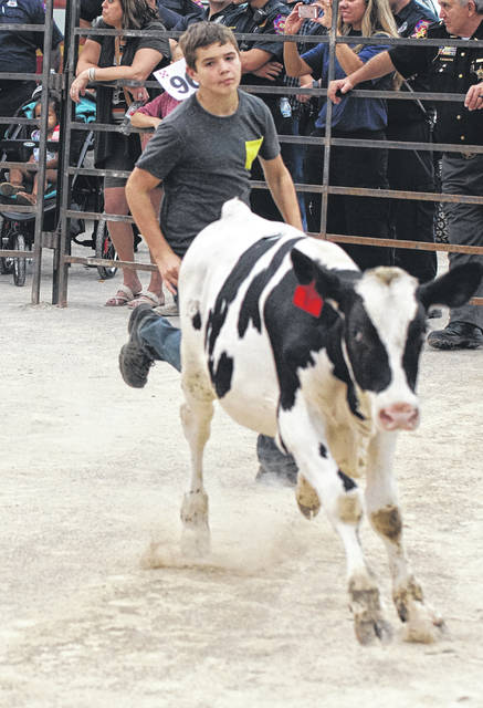Barb Slone | Greene County News Youth took a chance to catch next year's Greene County Fair project during the Kiddie Calf and Calf scrambles. The younger kids have a chance a calf in the Kiddie Calf Scramble. They have to get the sticker off a calf and get to the center ring.