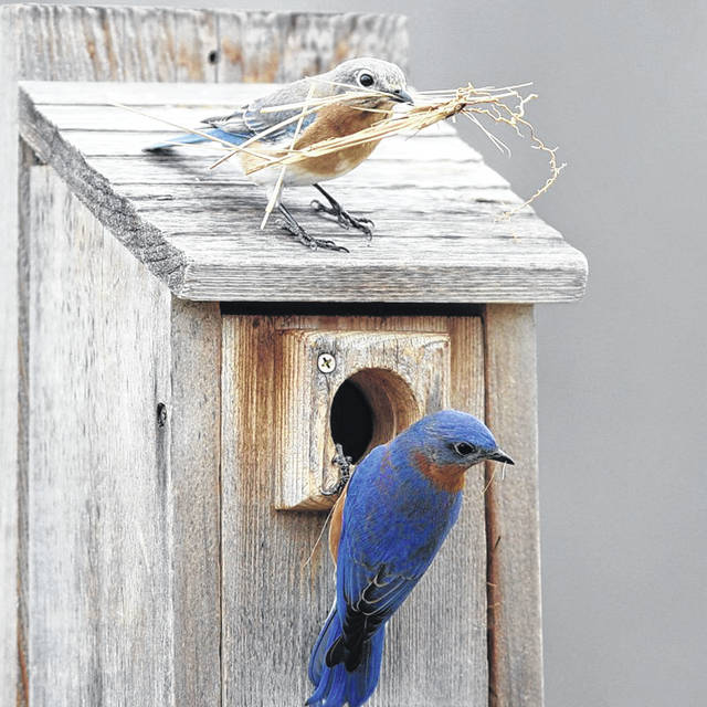 Photo courtesy GCP&T Bluebirds are just one type of nesting bird that can and will be monitored through GCP&T's NestWatch Chapter, which is the first in the greater-Dayton region.