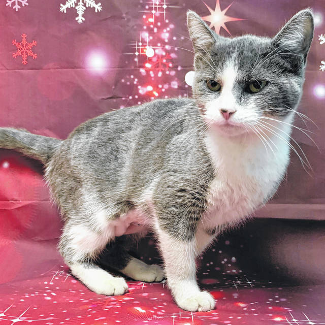 Photo courtesy GCAC Judy is 1 year old domestic short-haired cat with a blue and white coat. She's been spayed and vet-checked and is ready to go home with a loving family or individual.