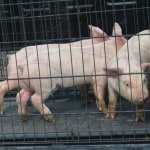 Pig roundup continues