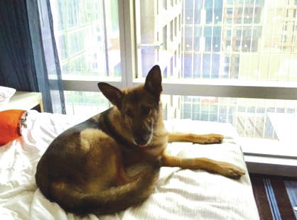 Submitted photo Military Working Dog Blecki rests in his hotel room prior to a mission supporting the Secret Service during the opening of the National September 11 Memorial & Museum. Blecki was stationed at Wright-Patterson Air Force Base, assigned to MWD handler, Staff Sgt. Seth Dale.