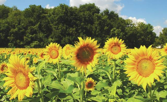 Whitney Vickers | Greene County News The sunflower field in Yellow Springs has made its annual appearance. The flowers are expected to be in bloom for the next few weeks.