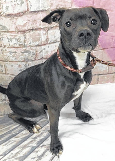 Photo courtesy GCAC Diesel takes the feature spot this week. A 1-year-old black and white pit bull mix, Diesel is a medium-sized male who has been neutered and vet-checked. Diesel is ready for a loving home to call his own.