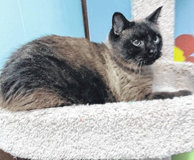 Photo courtesy GCAC Featured this week is Simba — a tan and black colored Siamese cat. Simba, a neutered male, is up for adoption at Greene County Animal Care & Control, where he also accepts visitors.
