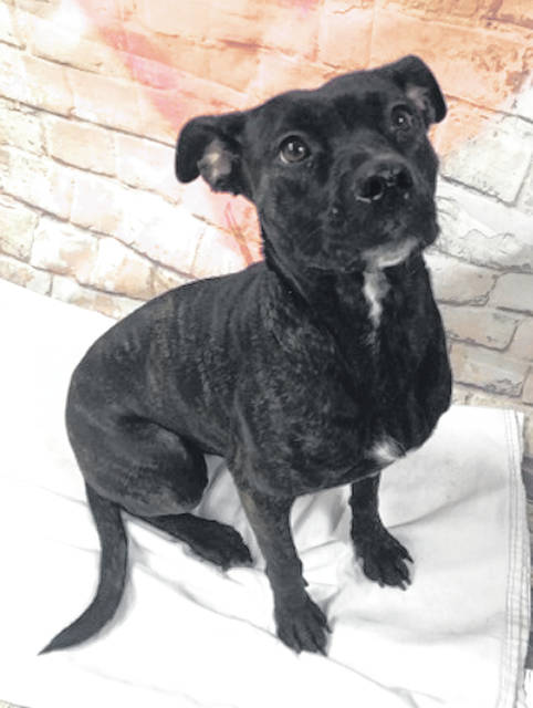 Photo courtesy GCAC Demi, a 10-14 month old pit bull mix, is ready to be adopted. Demi is a spayed female puppy with a black and white brindle coat. She's more than ready to go home with a loving family to care for her.
