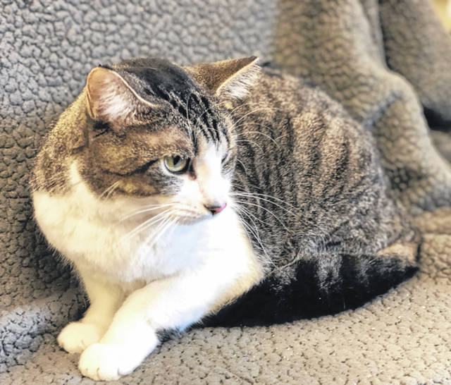 Photo courtesy GCAC Daenerys is a female brown mackerel and white domestic short-haired cat. She's about 1-2 years old. Daenerys is available for adoption and can be visited at Greene County Animal Care & Control.