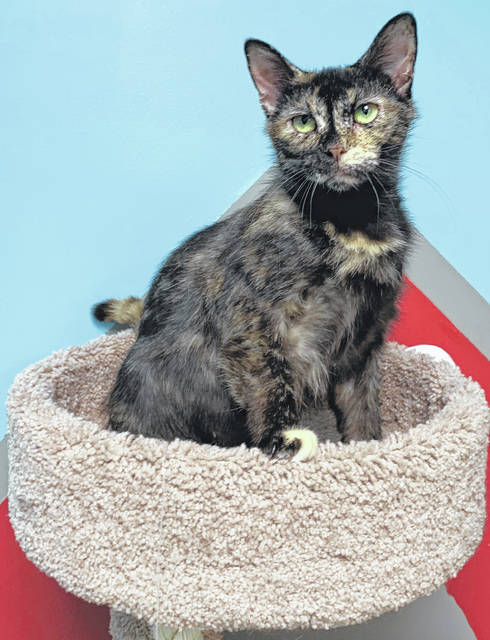 Photo courtesy GCAC Honey is a female domestic short-haired cat with tortoiseshell coloring. She's around 2 to 4 years old, has been spayed and had her vet appointment. Honey, available now for adoption, is hanging out at Greene County Animal Care & Control until she goes to a new home.