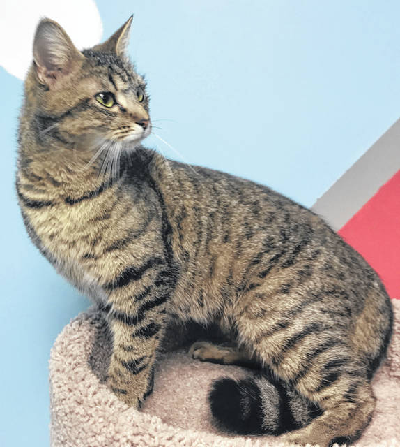 Photo courtesy GCAC Raylee is a female brown mackerel domestic short-haired cat. She's been spayed and vet-checked. This pretty girl is ready for adoption.