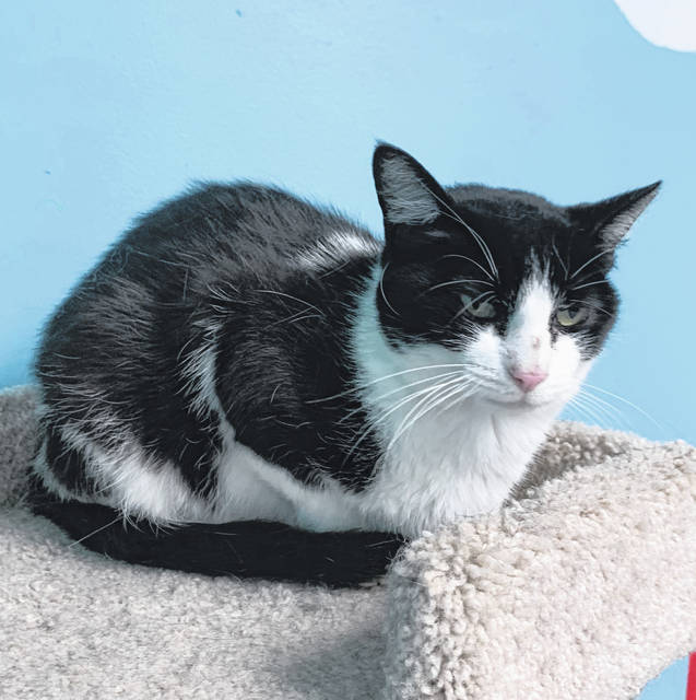 Photo courtesy GCAC Dolly is a black and white domestic short-haired cat. She's about 2 to 3 years old and has been spayed and vet checked. Dolly is adoptable and can be visited at Greene County Animal Care and Control.