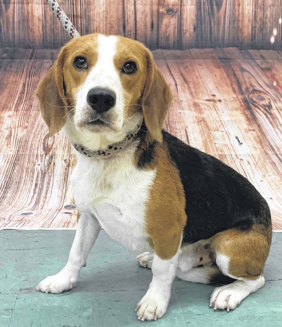 Photo courtesy GCAC Mr. Peabody is a tri-color beagle, about 2 to 3 years old. He's been neutered and vet-checked and is ready for adoption. Mr. Peabody is playing at Greene County Animal Care & Control until he finds his new family.