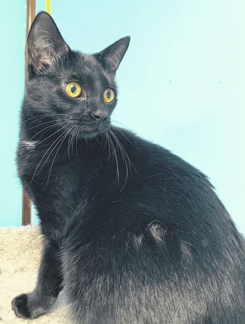 Photo courtesy GCAC Shera is a 1-year-old domestic short-haired cat with a black coat. She's been spayed and vet-checked and is ready to be adoption. All she needs now is the right human to visit her and bring her home.