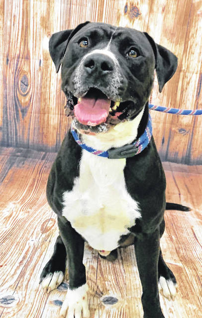 Photo courtesy GCAC Ned is a 2 to 3 year old male pit bull with black and white coloring. He has been neutered and vet checked and is ready for adoption. This cute dog can be visited at Greene County Animal Care & Control.