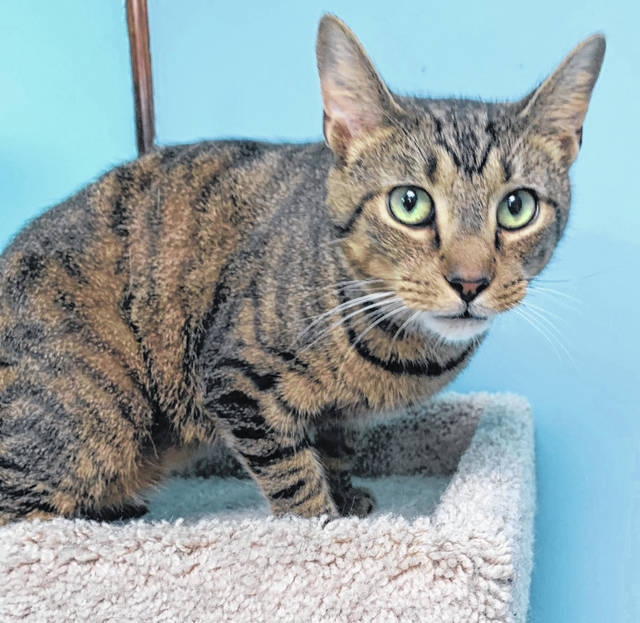Photo courtesy GCAC Lucas is a 2-year-old male domestic short-haired cat with a brown mackerel coat. He is ready for adoption and can be visited at Greene County Animal Care & Control.
