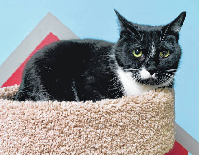 Photo courtesy GCAC Fritz is a male domestic short-haired cat with a black and white coat. He's between 5 and 6 years old, has been neutered and vet checked and is ready for adoption.