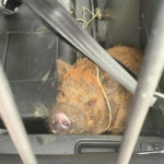 Police search for owner of pig