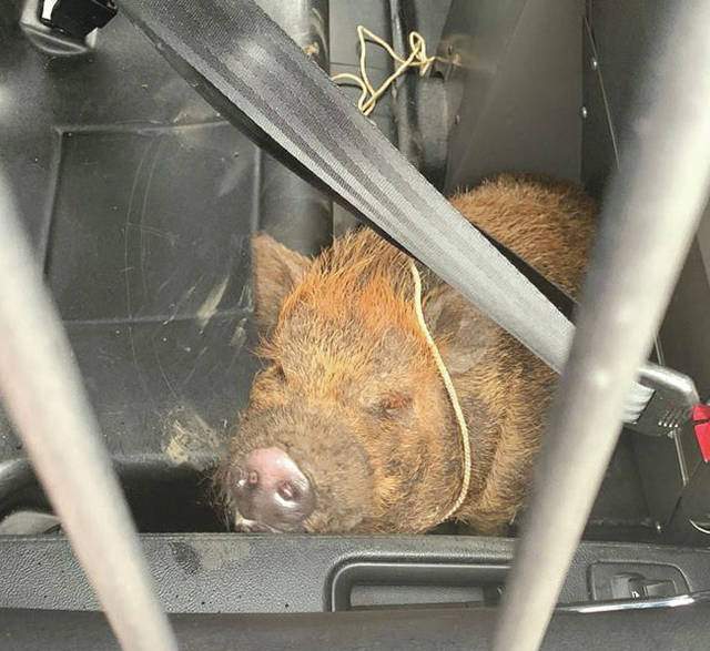 Submitted photos Fairborn Police officers were called to a potbellied pig on the loose near South Central and McLaughlin Avenue Jan. 3. If individuals know whom the pig belongs to, they are asked to contact the Fairborn Police Department at 937-754-3000.