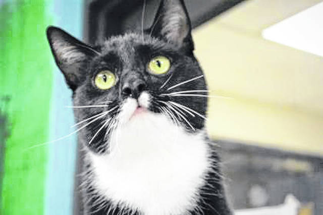 """Submitted photo Sylvester, a male domestic short-haired cat, is up for adoption at Greene County Animal Control. He's 2 years old, has been altered, and weights 8 pounds. Shelter staff describes Sylvester as """"a fun loving, center of attention, vocal kind of guy!"""" He's playful, active, friendly, and ready for adoption."""