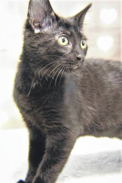 Photo courtesy GCAC Pinot is a female 3 month old domestic short-haired kitten. She weighs 4 pounds and has a black coat. Pinot is ready to be adopted. If interested, visit co.greene.oh.us — Departments — Animal Control — Adoptions — Cat Adoptions and submit an application for a meet and greet.