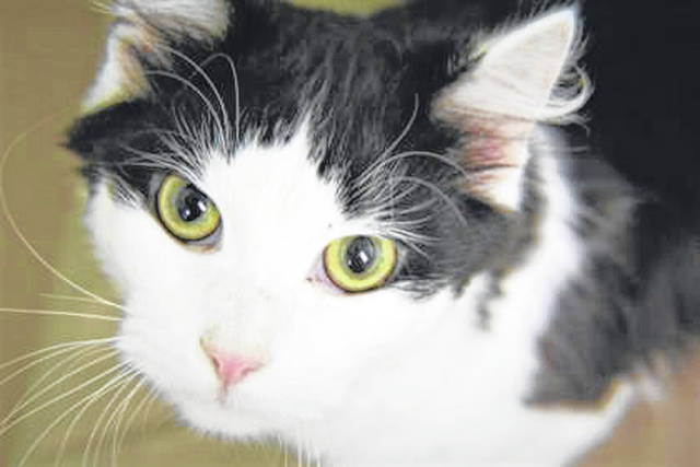 Photo courtesy GCAC Jekyll is a 1 year old domestic short-haired cat. He weighs 5 pounds and has a black and white coat. If interested in adopting Jekyll, visit co.greene.oh.us — Departments — Animal Control — Adoptions — Cat Adoptions and submit an application for a meet and greet.