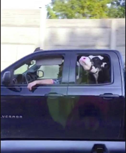 Provided photo A still from the viral video of Cory Morris driving Annie down the highway. Annie has now been dubbed Annie the Highway Cow.