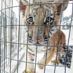 Ohio reviewing high school team's use of tiger cub mascot
