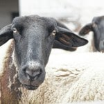 Looking for a shepherd: What churches do when the pulpit is empty