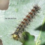 Ohio Department of Agriculture to begin gypsy moth treatments in northwest Ohio
