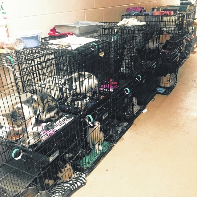 The Ohio SPCA & Humane Society rescued 70 dogs and cats from TLU Rescue and its owner's home in Bluffton on Friday night. These cats were removed from the rescue and provided with clean bedding, food and water.