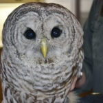 GET THIS: Owl stuck between truck cab and trailer on the mend