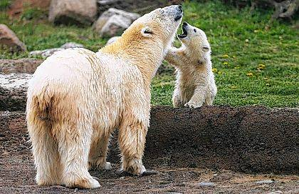 In this April 19 file photo, a polar bear cub makes its public debut with her mother, Anana, in their habitat at the Columbus Zoo and Aquarium in Powell. The polar bears at the Columbus zoo are helping the federal government fight crimes against their wild relatives in the Arctic, thanks to advancements in forensic science and DNA testing. But not only did the zoo help investigators learn more about polar bear genetics, they also learned the sex of their newest cubs.