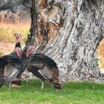 Get This: Oregon town seeks solutions to wild turkeys, their droppings