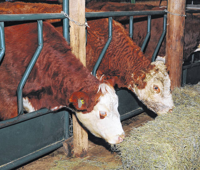 Sheriff Matt Treglia's farm includes 15 head of beef cattle, some salves and show cattle, including Simmental and Hereford cattle.