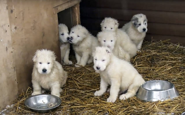 In this photo made from the footage taken from Russian Defense Ministry official web site on Tuesday, Jan. 2, 2018 shows a frame grab from a New Year greeting video with puppies who are raised and trained at a dog breeding center in Knyazhevo, 103 kilometers (64 miles) north of Moscow, Russia. (AP Photo/ Russian Defense Ministry Press Service)