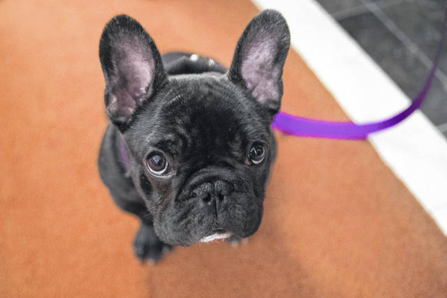 French bulldogs are the fourth most popular purebred dog.