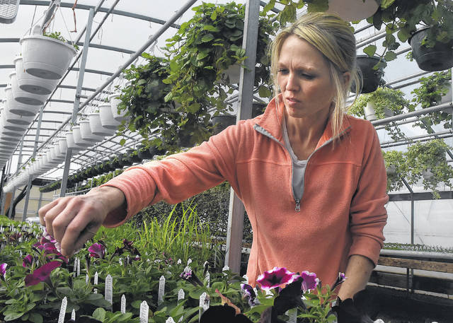 Kayla Dahlinghaus, owner of Kayla's Greenhouse in Lima, prunes crazy petunia flowers while working in a greenhouse on Monday. Kayla's greenhouse will open April 16.