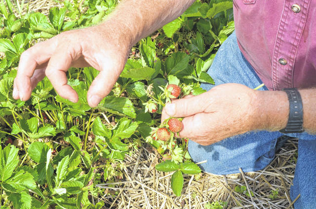 Suter's Produce co-owner Jerry Suter describes the damage caused by a rare type of insect in his strawberry patches this year.
