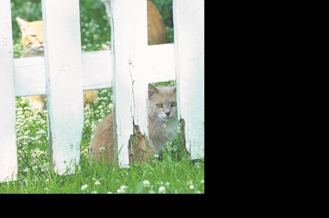 A group of stray cats sit in the back yard of a home on South Perry Street in Ottawa. Despite a trapping program, two new litters of kittens have been born and one litter is near maturity. Erin Hughes, deputy clerk-treasurer with Ottawa, said there is money set aside in the budget to pay Humane Ohio to return.