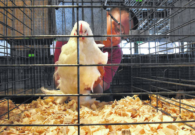 Camden Cosart, 9, of Harrod, places his hen in its cage after the Junior Fair Poultry exhibits check-in time on Friday.